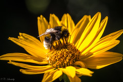 Bumble bee at work photo by nemi1968