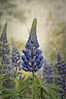 More and more lupines photo by MarieFrance Boisvert