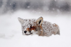 Fox in the Snow photo by Roeselien Raimond