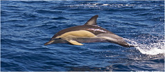 Common dolphin photo by TenZNL.com