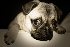 "Cute Pug Puppy ""Charlie"" photo by Nidreas"
