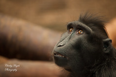 Cute little black Ape at Chester Zoo photo by CheekyAngels (catching up )