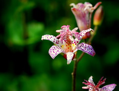 Formosa Toad Lily photo by Renee Rendler-Kaplan