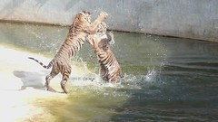 Tiger Fight photo by Fraser Mummery