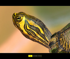 Portrait of turtle photo by Sandro Vinci