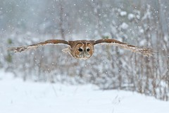 Tawny Owl photo by Sweetmart