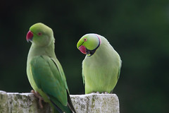 Ringneck Parakeet photo by michielmos