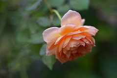 Rose   ' Abraham Darby' photo by myu-myu