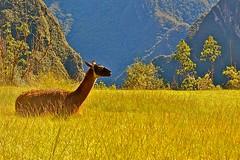 The lonely llama of Machu Picchu photo by Domingo Mery