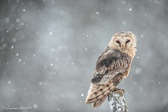 Barn Owl - Portrait photo by Susanna Chan
