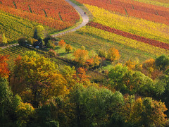 Indian Summer - Fall in the Vineyard photo by Batikart