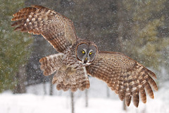 Awesome!, - Great Gray Owl,  Ottawa, Canada photo by Jim Cumming
