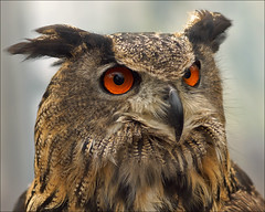 Eurasian Eagle Owl (Bubo bubo) photo by Foto Martien
