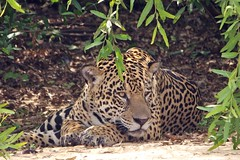 Male Jaguar Resting In Shade In Brazilian Wild- Explore #373 10/20/12 photo by masaiwarrior 1.5 million views