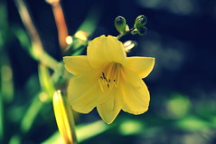yellow day lily [Explored] photo by Sruthis Photography
