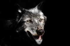 Grey Wolf photo by pattoise
