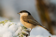 Marsh tit @ golden sunlight photo by Marcel Tuit