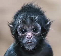 Baby Colombian black faced spider monkey photo by Steve Wilson - over 3 million views Thanks !!