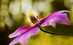 Pink Clematis (Explored!) photo by j man.