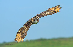 eagle owl photo by gray clements