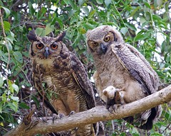 Female Great Horned Owl with Large Chick, The Pantanal, Brazil photo by masaiwarrior
