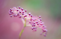 Elderberry photo by Mal Urwin
