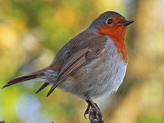 My Ultimate Robin (Explored) photo by Martin Windsor