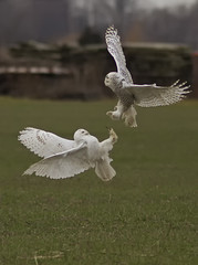 Pair of Snowy Owls photo by Steve Gilchrist