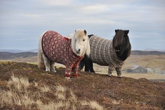 Shetland ponies in cardigans photo by VisitScotland