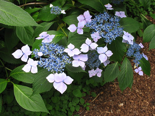 around house hydrangea