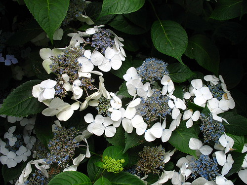 around house hydrangea 2