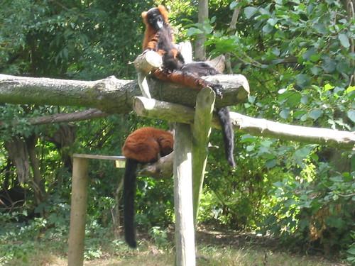 Monkeys in Fota
