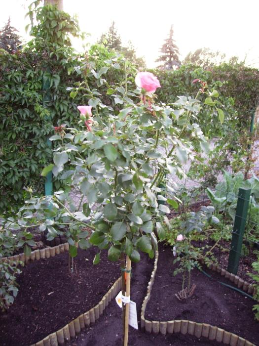 2006-08-18_rose