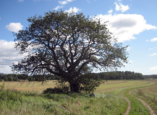 That Old Tree (September 9th)