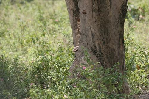 IMG_0522 mongoose peeping out
