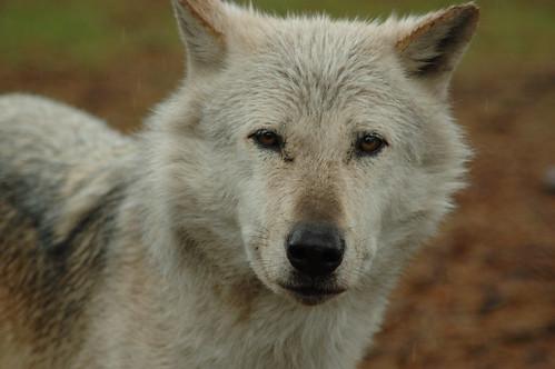 Safari Park - Wolf