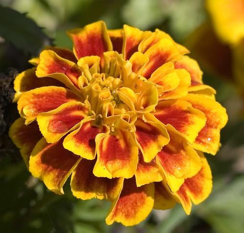 wet marigold