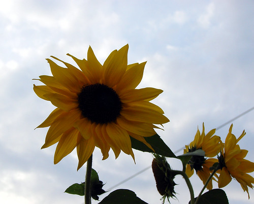 yellowsunflower4