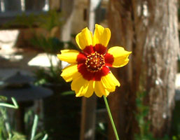 Dwarf Plains Coreopsis - Close Up