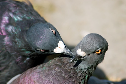 Pigeons Pecking Each Other