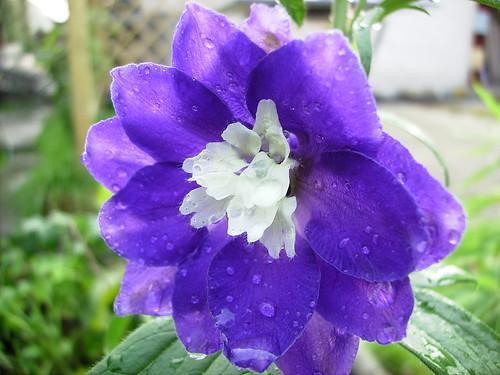 Ritterspornblüte