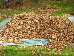 cody raking leaves 003