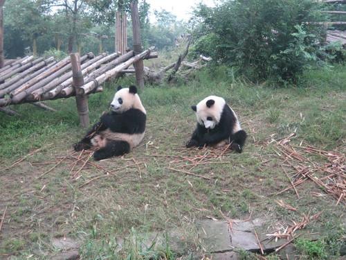 two_pandas_1