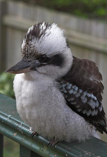 Fluffed up kookaburra