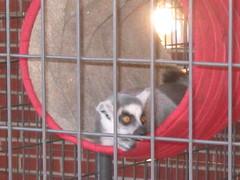 Rhinebeck: Lemur Monkey