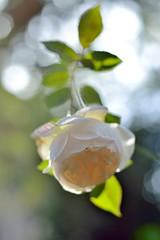Rose  'Rose Marie' photo by myu-myu