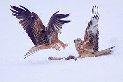 Red Kite in snow photo by Paul Miguel