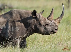 Black Rhino Portrait, Lewa photo by Glatz Nature Photography