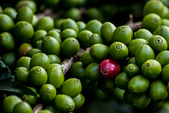Coffee Berries photo by Kumaravel