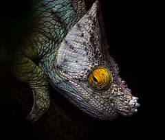Close up of a Parson's Chameleon photo by Steve Wilson - over 5 million views Thanks !!